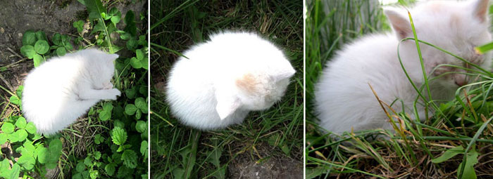 белый котенок из косино